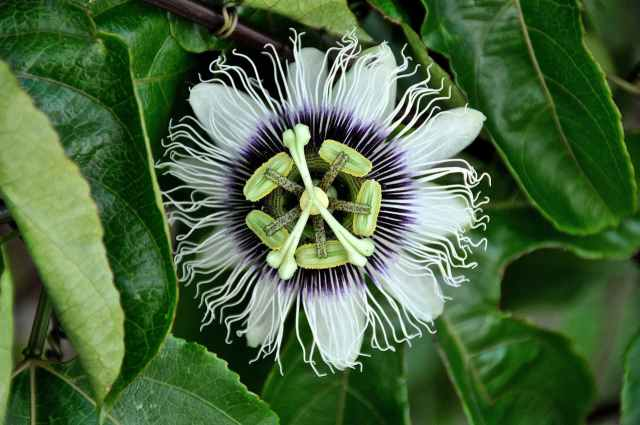 passiflora-flowers-nature-passion-40373.jpeg